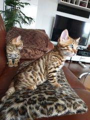 Bengal Kitten Katzen