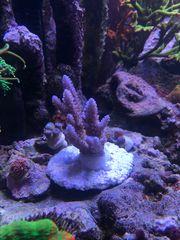 Acropora hellblau groß