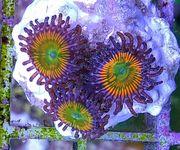 Meerwasser Korallen LPS SPS Zoas