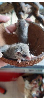 Afrikanische Zwergschläfer Eichhörnchenverwandte
