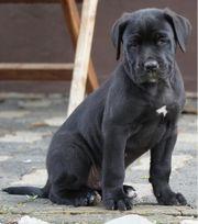 Cane Corso - Labrador - Doggen Mischlinge