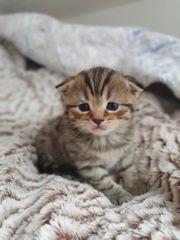 3 reinrassige BKH Kitten