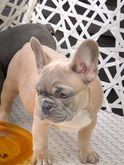 Französische Bulldoggen Welpen Rüden