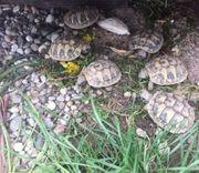 Griechische Landschildkröten von 2020 zu