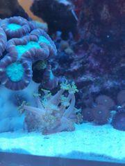 Ableger Koralle Meerwasser Salzwasser