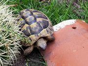 Griechische Landschildkröte Männchen Thb