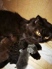 BKH BLH Kitten in Schoko