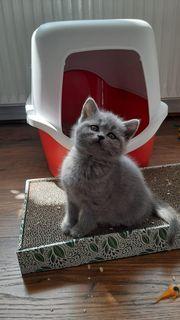 6 BKH Katzen Babys geimpft
