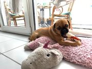 Französische Bulldogge Mops mix
