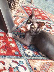 Sphynx Katerchen Babykatze