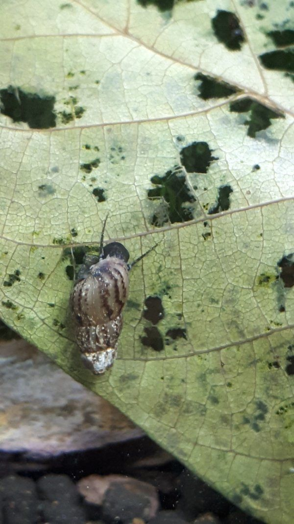 Turmdeckelschnecken