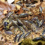 Gebe eigene Nachzuchten Porcellio ornatus