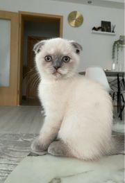 British Kurzhaar Kitten BKH Reinrassig