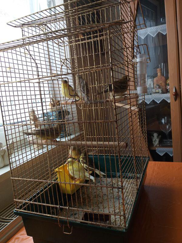 Kanarienvogel zu Verkaufen Neue geboren