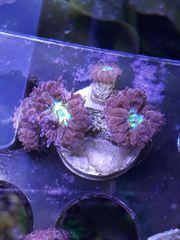 Blastomussa merleti weinrot mit grün