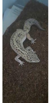 3 leopardgeckos