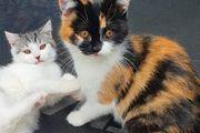 Perser Mix Baby Katze Tricolor