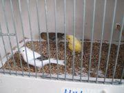 Kanarienvögel in verschiedene Farben ab