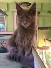 wunderhübsche Maine Coon Kitten o