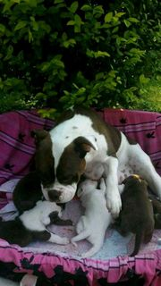New Engl Bulldogge Continental Bulldogge