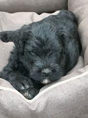 schwarze russische Terrier Welpen von