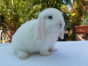 Minilop kaninchen mit englischen blutlinien