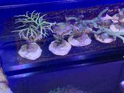 Ableger von Korallen - verschieden Arten