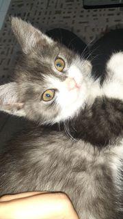 Perser mix kitte