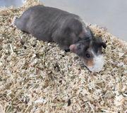 Dringend Skinny Pig Meerschweinchen Kastrat