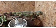 Grüner Leguan vermutlich Weibchen zuverkaufen