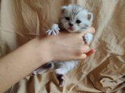 Reinrassige Schottische BKH Kätzchen