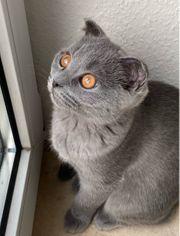 Kitten mit seidigem blue Fell