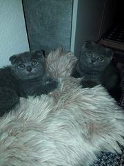 Edelmix BKH - schottish fold Kitten
