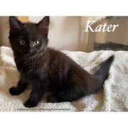 Baby Katzen Maine Coon Kitten