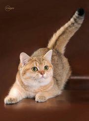 ich suche bkh kitten
