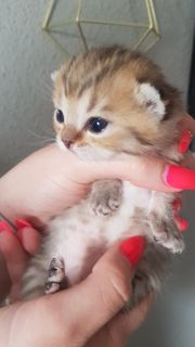 Kitten mit Stammbaum Bkh Kitten