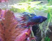 Kampffisch Crownfail Männchen