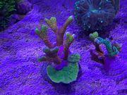 Verschiedene Korallenableger abzugeben - SPS LPS