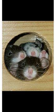 Ratten aus staatlich geprüfter Zucht