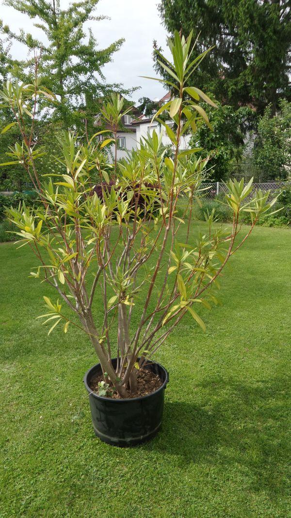 Oleander rosa blühend ca 1