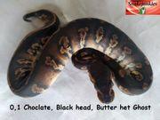 0 1 Choclate Black Head