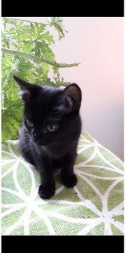 Siam Perser Katzenbaby abzugeben