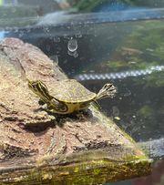 Zwei Florida Schmuckschildkröten