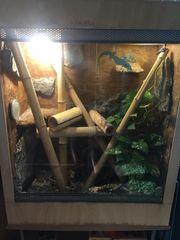 Große Madagaskar Taggecko Pärchen
