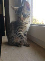 Bengal Mix Kitten abgabebereit