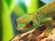 Phelsuma Grandis High Red Nachzucht