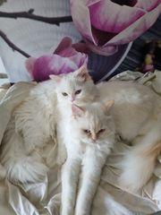 süße Perser katzen