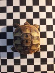 4 Griechische Landschildkröten Babys