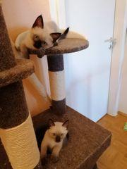Siam Kätzchen zu verkaufen