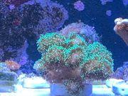 Pocillopora Damicornis SPS Koralle Meerwasser